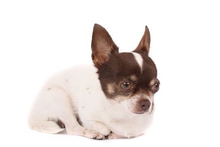 fidelity: white and brown chihuahua on the white background Stock Photo