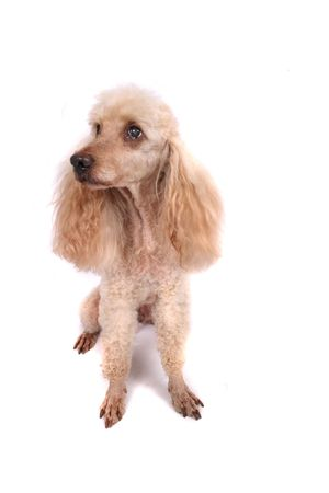 fidelity: nice brown poodle on the white background
