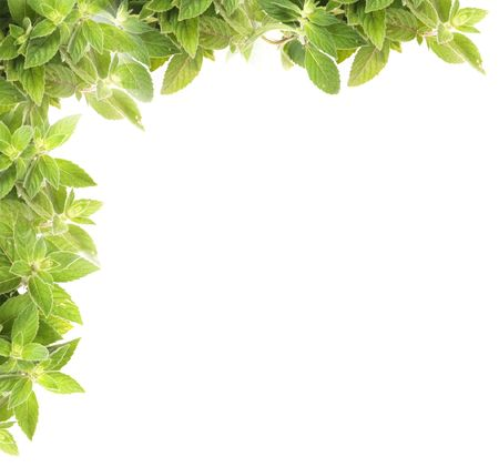 natural fresh herb  background from the mint Stock Photo