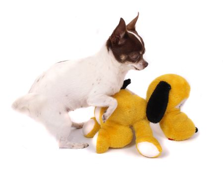 fidelity: chihuahua and her yellow friend (love or  ? )
