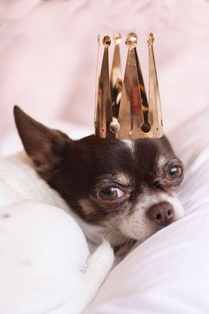 chihuahua with golden crown on her head  photo