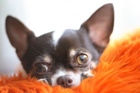 shorthair chihuahua is resting in the bed