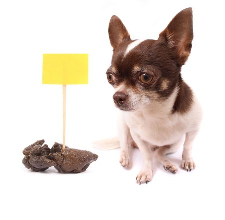 shit: chihuahua and her poo on the white background
