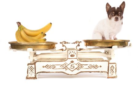 chihuahua and banana on the white background photo