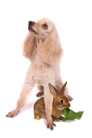 poodle and his friend on the white background photo