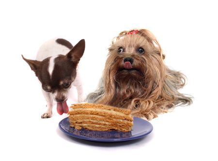 chihuahua desert: chihuahua and her friend on the birthday party Stock Photo