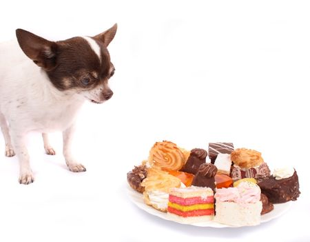 chihuahua is eating sweet deserts on the white background Stock Photo