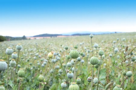 opiate: green poppy heads and the blue sky