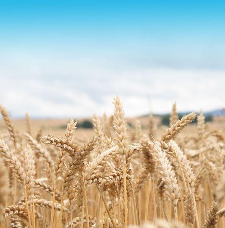 deatil: Czech country - deatil of golden corn and blue sky