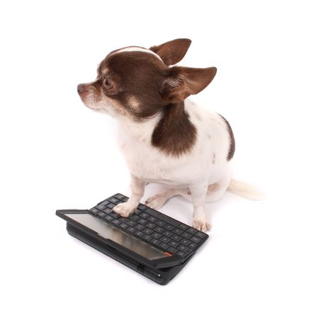 fidelity: small cute chihuahua on the white background with palmtop Stock Photo