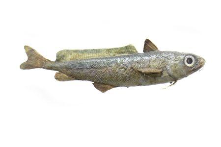 exotic fish on the white background Stock Photo - 3460989