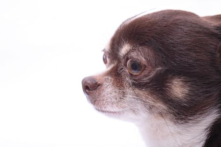 fidelity: head of my sweet chihuahua on the white background
