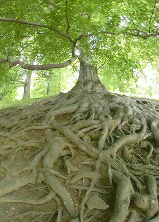 molto vecchio albero esotico dal ceco foresta Archivio Fotografico