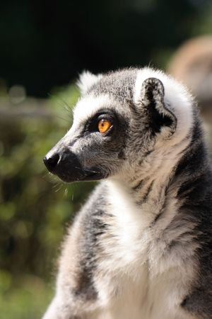 very nice lemur monkey in the jungle  photo