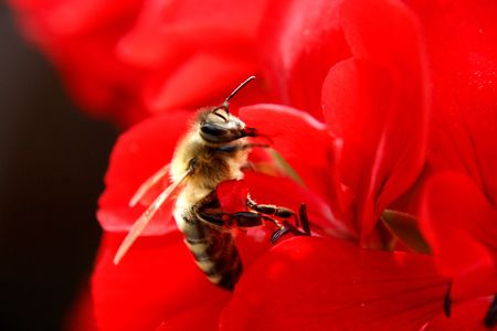 bee on the gren background (macro) Stock Photo - 3635656