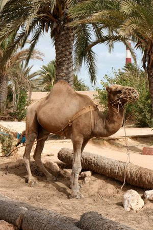 very old camel in the tunisan desert Stock Photo - 3647221