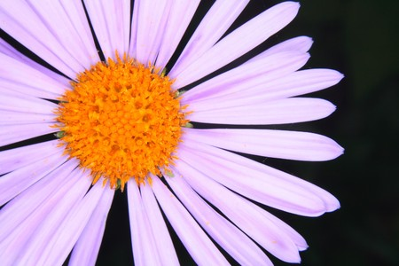 detail of violet flower on the black background Stock Photo - 4017678