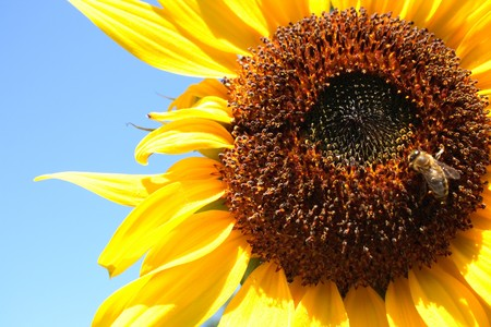 bee on the sunflower with blue background Stock Photo - 4092977