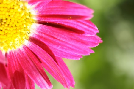detail of violet flower on the green background Stock Photo - 4092969