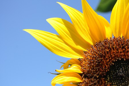fresh sunflower on the blue sky background  Stock Photo - 4162042