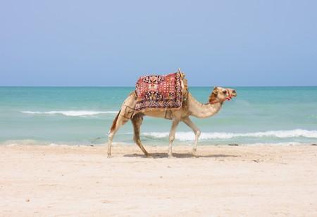camel is walking on the tunisian beach