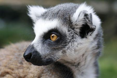 fussy: monkey lemur - very sweet animal from ZOO Stock Photo