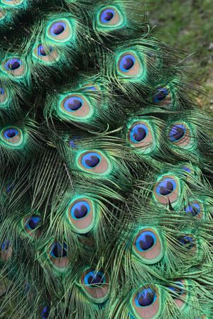 peacock eye: colrofull background from the feathers o peacock  Stock Photo