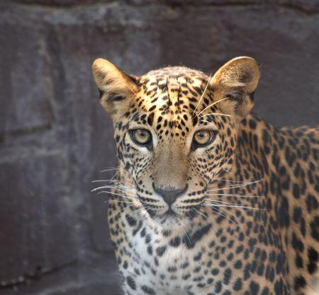very nice head of cheetah photo