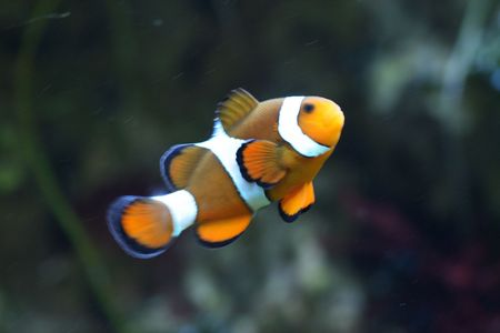 nice clown fish on the green background Stock Photo - 5038819