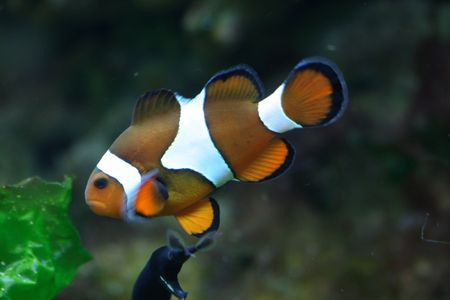 nice clown fish on the green background photo