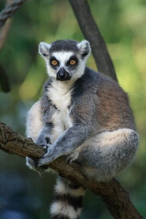 nice lemur monkey from the ZOO Prague  photo