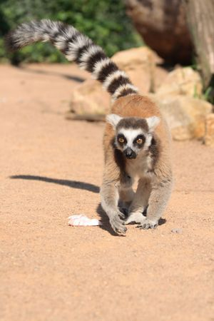 nice lemur monkey form the Prague ZOO  photo