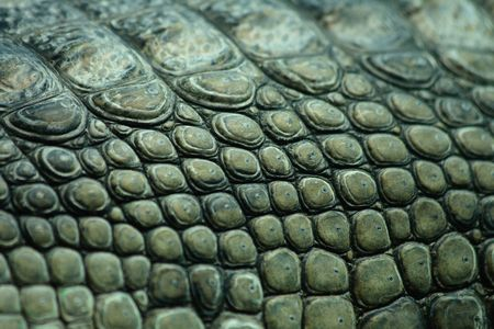 green crocodile skin from the Prague ZOO Stock Photo