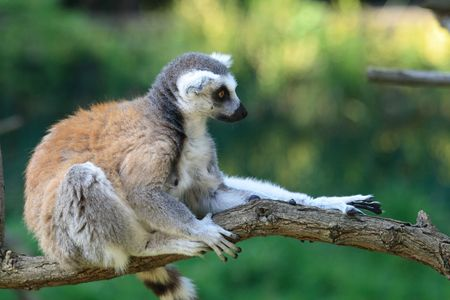 very nice lemur monkey on the green background photo