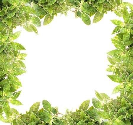 menta: Fondo de hierba fresca natural desde la casa de moneda