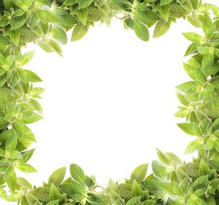 botanical medicine: natural fresh herb  background from the mint Stock Photo