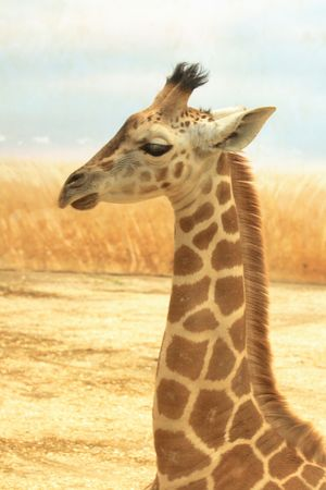 nice small giraffe with the natural background Stock Photo - 5433392