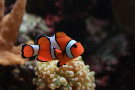 aquarium background with clown fish from the sea Stock Photo