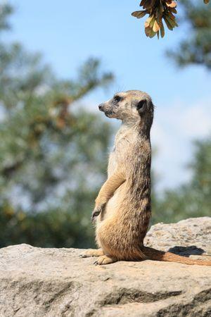 suricatta: suricatta is watching (from the Prague ZOO)