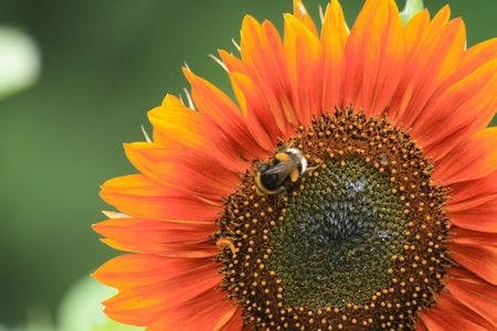 nice detail of sunflower with the bee Stock Photo - 5773681