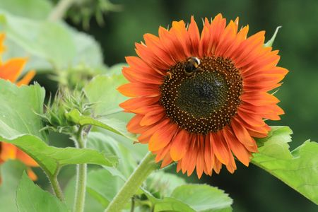 nice detail of sunflower with the bee Stock Photo - 5773758