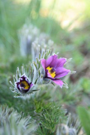 flor de primavera agradable violeta en el jardín verde  Foto de archivo - 6283555
