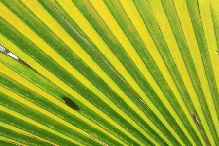 green leaf background from the palm tree photo