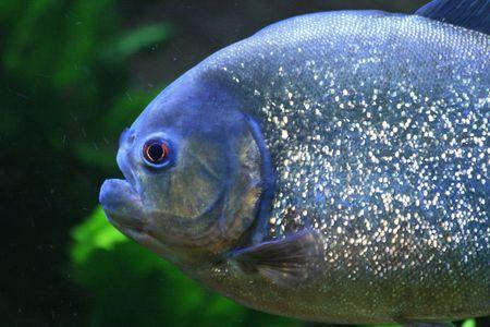 nice big piranha fish in natural environment  photo