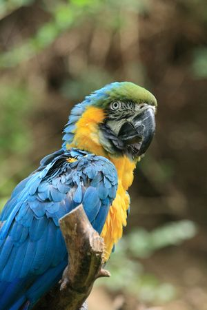 very nice blue and yellow parrot in the nature photo