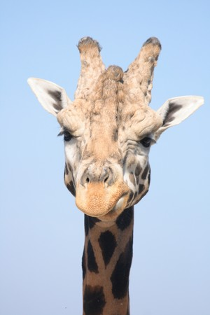 nice girafe head from the Prague ZOO Stock Photo - 6987911