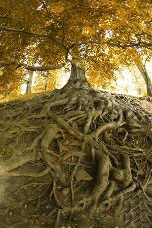 molto vecchio albero dalla foresta ceca  Archivio Fotografico