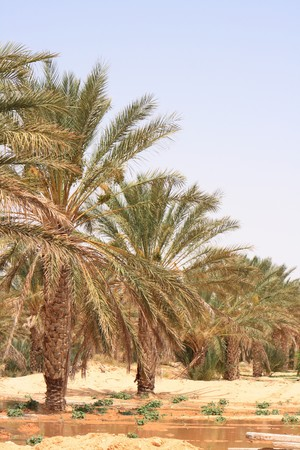 oasis in the desert in the tunisia photo