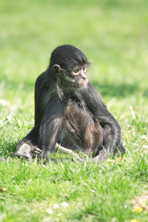 small black monkey on the green grass photo