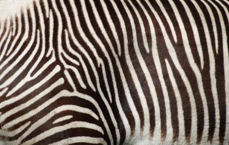 zebra texture as very nice animal background